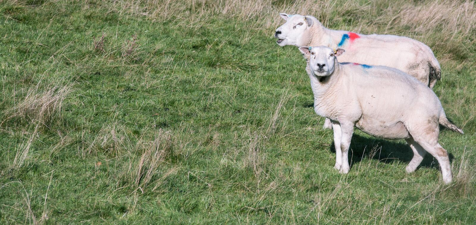 Two adult female sheep on a green grass - Scotland stock photos