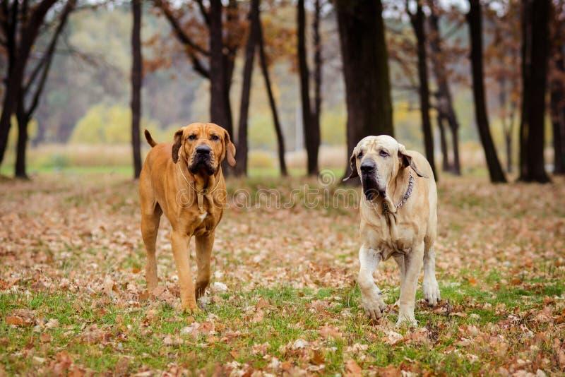 Two Fila Brasileiro dogs, autumn scene. Two adult Fila Brasileiro Brazilian Mastiff dogs sitting side to side, autumn scene royalty free stock images