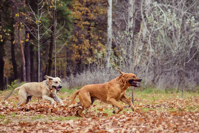 Two Fila Brasileiro dogs, autumn scene. Two adult Fila Brasileiro Brazilian Mastiff dogs sitting side to side, autumn scene royalty free stock photo