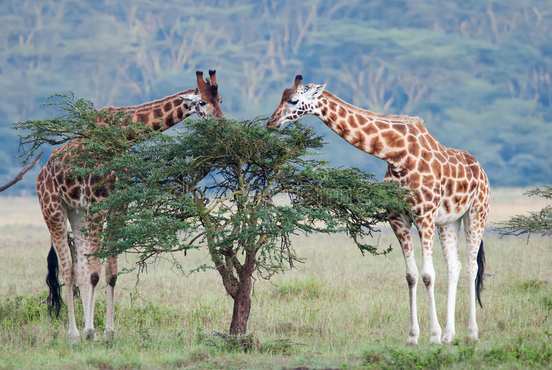 Two adult giraffe in the African savannah stock photography