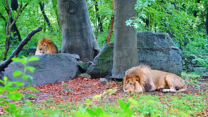 Two adult lions, prestige. Two adult lions, visually ahead, one of the top ten zoos in the world bronx zoo stock image