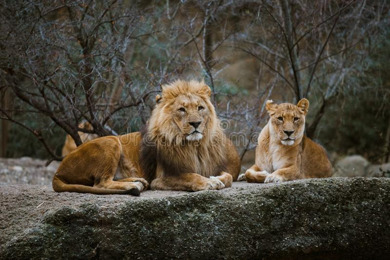 Two adult predators, the family of a lion and a lioness rest on a stone in the zoo of the city of Basel in Switzerland in winter i. N cloudy weather royalty free stock photography