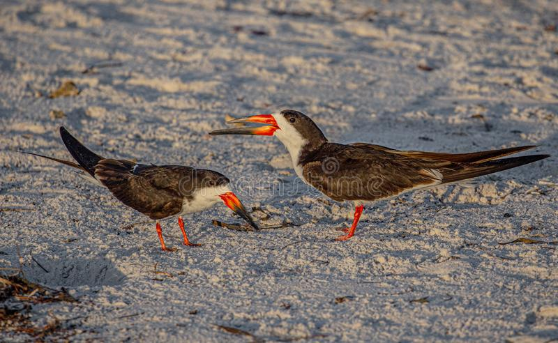 Two Adult Skimmers Telling Silly Human Jokes, Indian Rocks Beach, Florida. Natural Beauty royalty free stock image