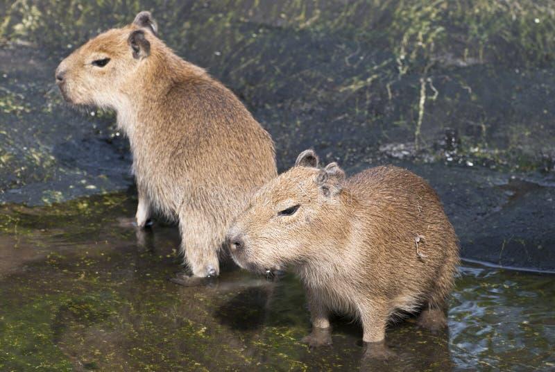 Download Two Adults Capybara (Hydrochoerus Hydrochaeris) Stock Image - Image: 26703887