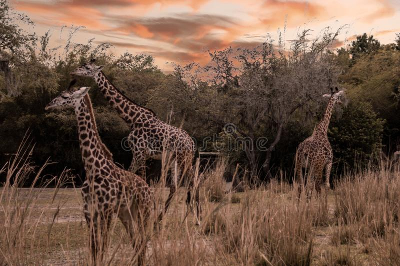 Two Adults and One Baby Giraffes in the wild on sunset stock photo