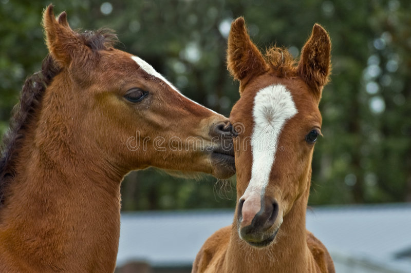 Two affectionate baby horse foals stock photography