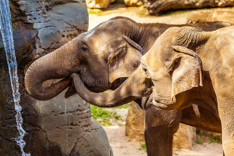 Two African elephant drinking water at a small waterfall. stock images