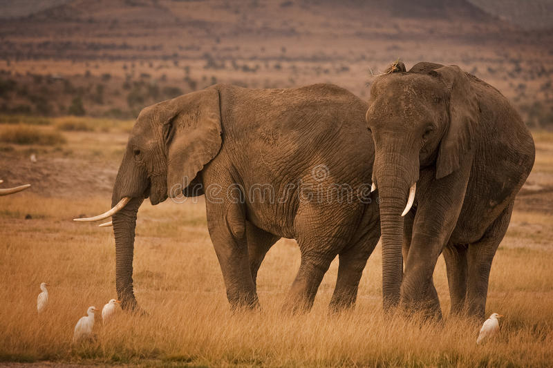 Two African elephants with cattle egrets royalty free stock photos