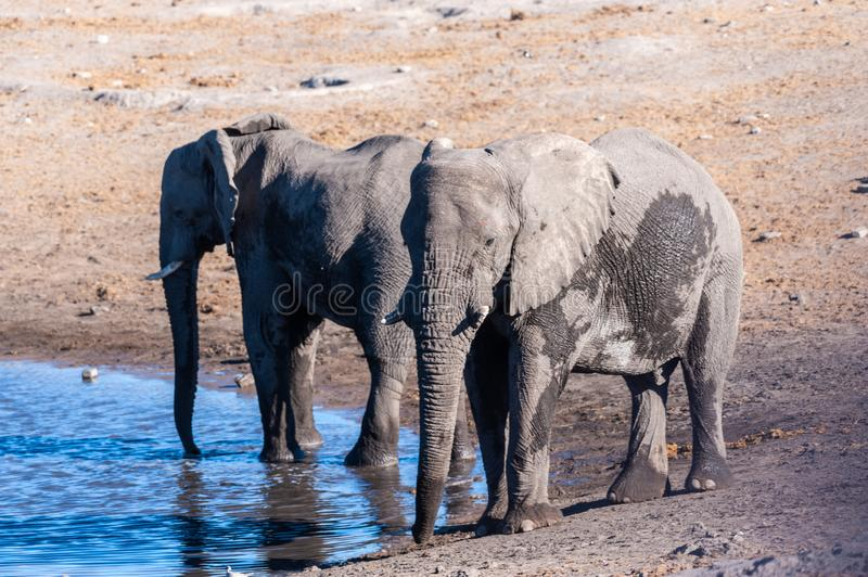 Two Male Elephants Drinking from a water hole. Two African Elephants -Loxodonta Africana- drinking from a waterhole. Etosha National Park, Namibia royalty free stock photos