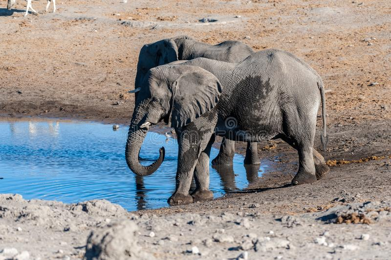 Two Male Elephants Drinking from a water hole. Two African Elephants -Loxodonta Africana- drinking from a waterhole. Etosha National Park, Namibia royalty free stock image