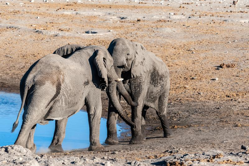 Two African Elephants picking a fight. Two Male African Elephants -Loxodonta Africana- are challenging each other for a fight. Etosha National Park, Namibia stock photo