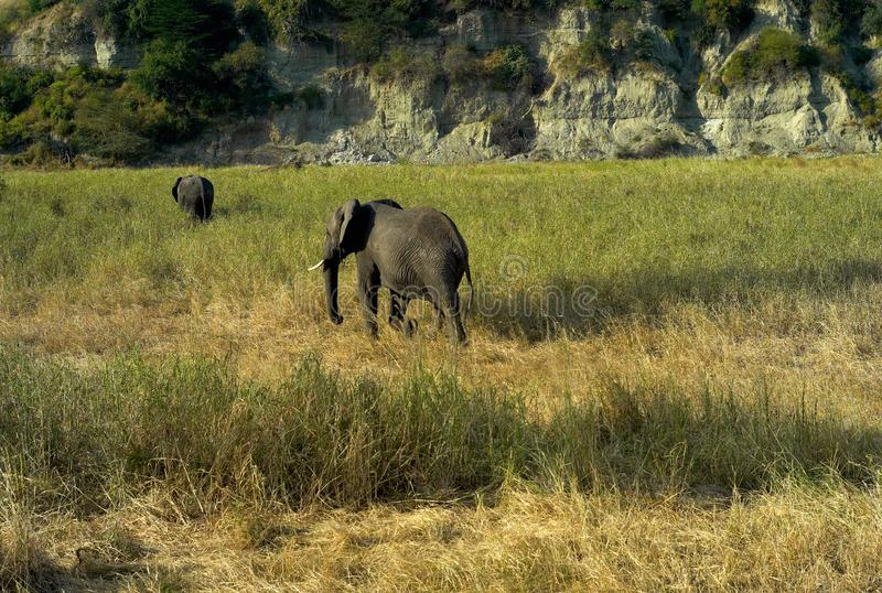 Two African Elephants strolling through the Grass stock images
