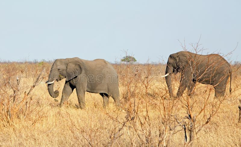 Two Elephants walking through the tall dry yellow grass with a hazy pale blue sky in Hwange National Park, stock photos