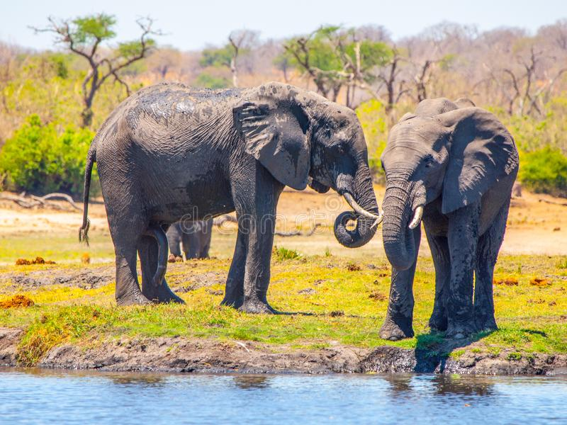 Two african elephants at the water. Chobe Riverfront National Park, Botswana, Africa.  stock images