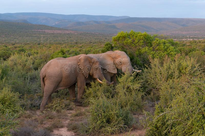 Two African elephants in the wild with picturesque landscape on the background royalty free stock image