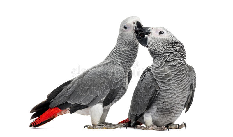 Two African Grey Parrots (3 months old) pecking. Isolated on white stock photos