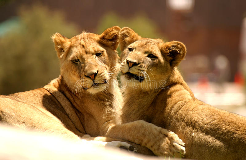 Two Lioness' Cuddling royalty free stock photography