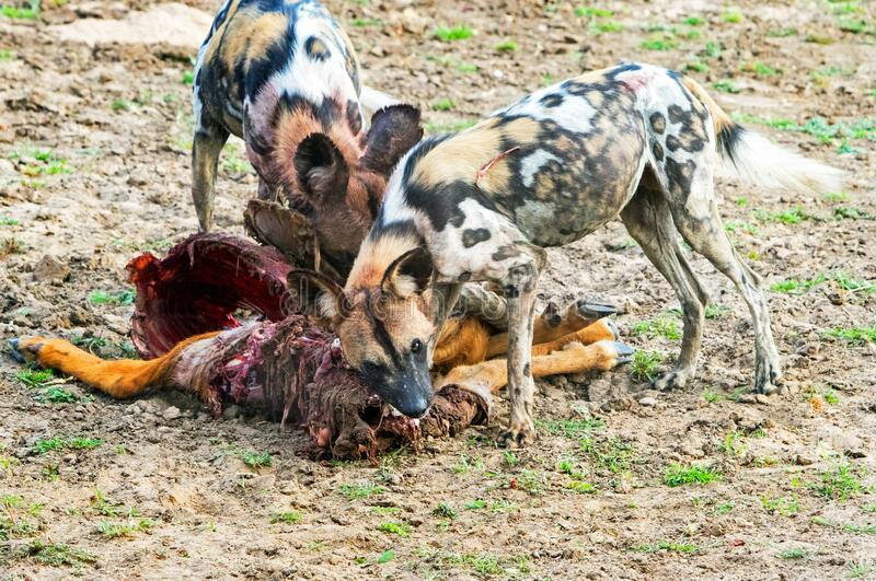 Two African Painted Dogs feeding on a recent kill in South Luangwa National Park. Wild Dogs Painted Dogs - Lycaon pictus feeding on a recent puku kill.  The dogs stock photo