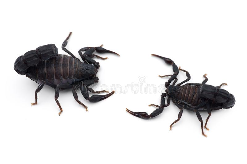 Two African venom Scorpions isolated on white background. Two African venom Scorpions isolated on white stock images