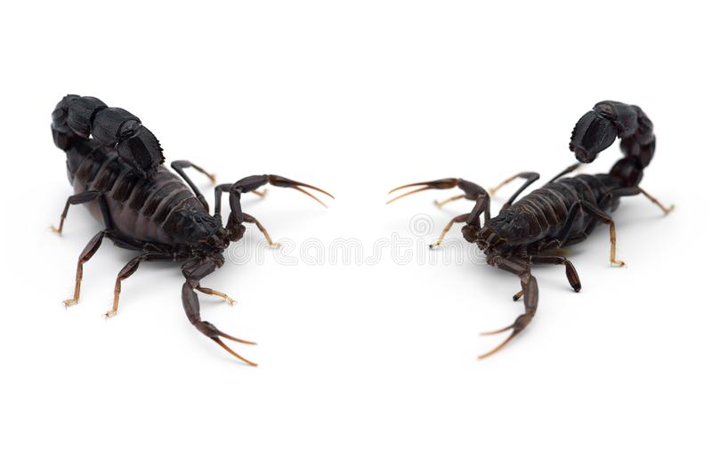 Two African venom Scorpions isolated on white background. Two African venom Scorpions isolated on white royalty free stock photography