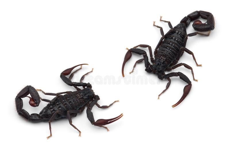 Two African venom Scorpions isolated on white background. Two African venom Scorpions isolated on white royalty free stock image