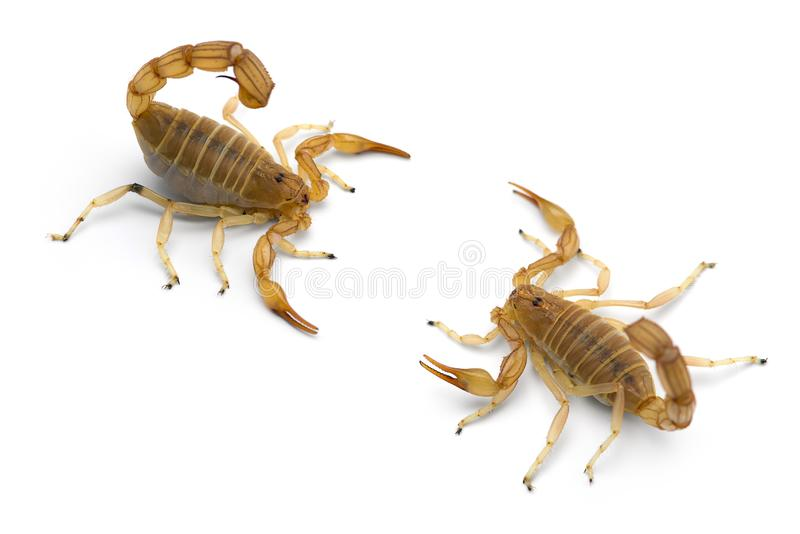 Two African venom Scorpions isolated on white background. Two African venom Scorpions isolated on white royalty free stock photo