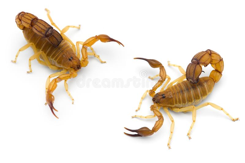 Two African venom Scorpions isolated on white background. Two African venom Scorpions isolated on white royalty free stock photos