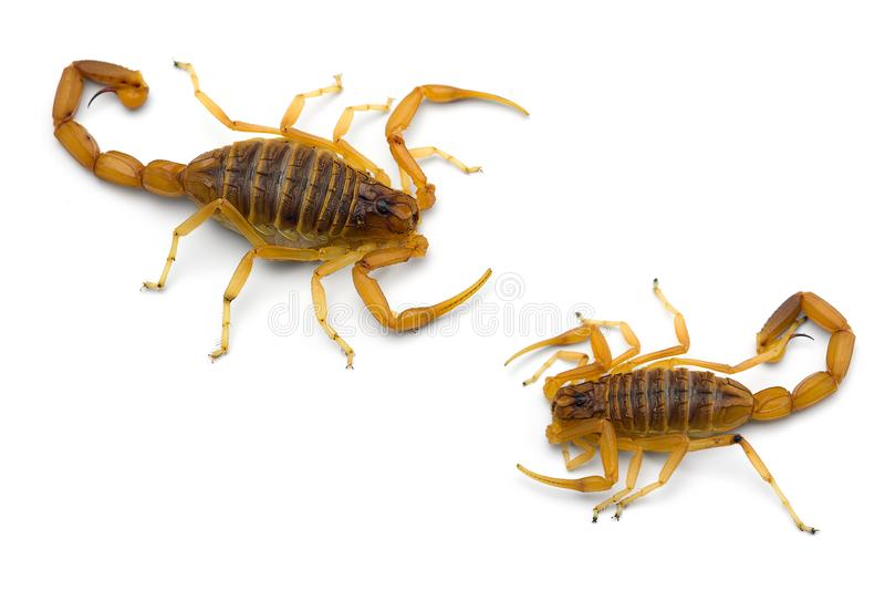 Two African venom Scorpions isolated on white background. Two African venom Scorpions isolated on white stock image