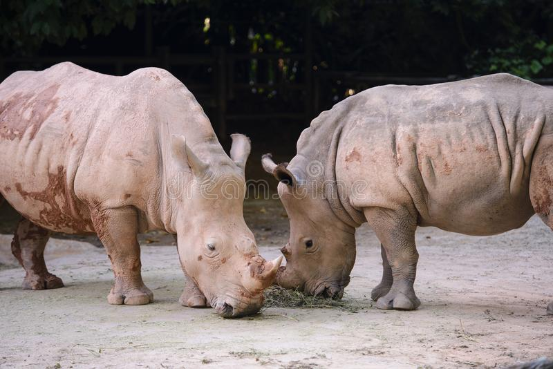 Two african white rhino. Eating stock photography