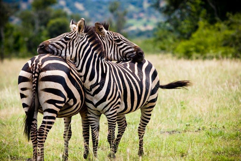Two African zebras taking a break royalty free stock image