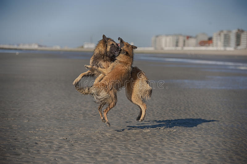 Two aggressive dogs fighting on a beach royalty free stock images
