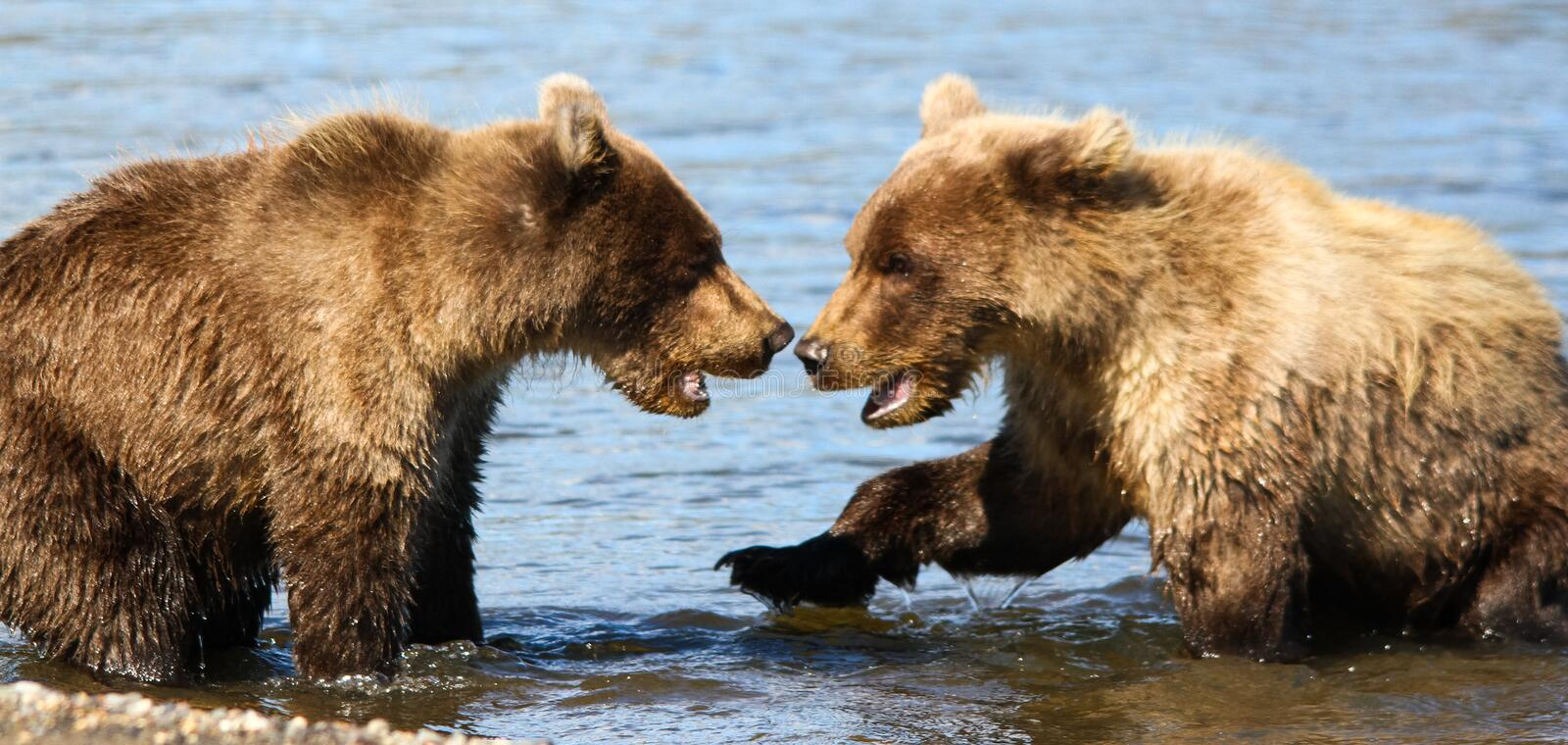 Two Alaska Brown Grizzly Bear Cubs Playing. Two brown grizzly bear cubs playing in Silver Salmon Creek in Lake Clark National Park. These bears spend weeks royalty free stock photos
