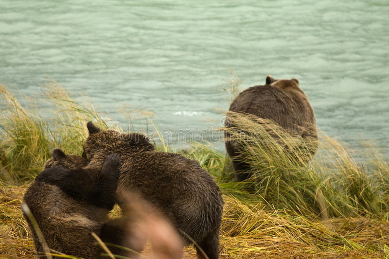 Two Alaskan Brown Bear siblings play fighting while the mother looks for salmon, Chilkoot River. Haines, Alaska stock image