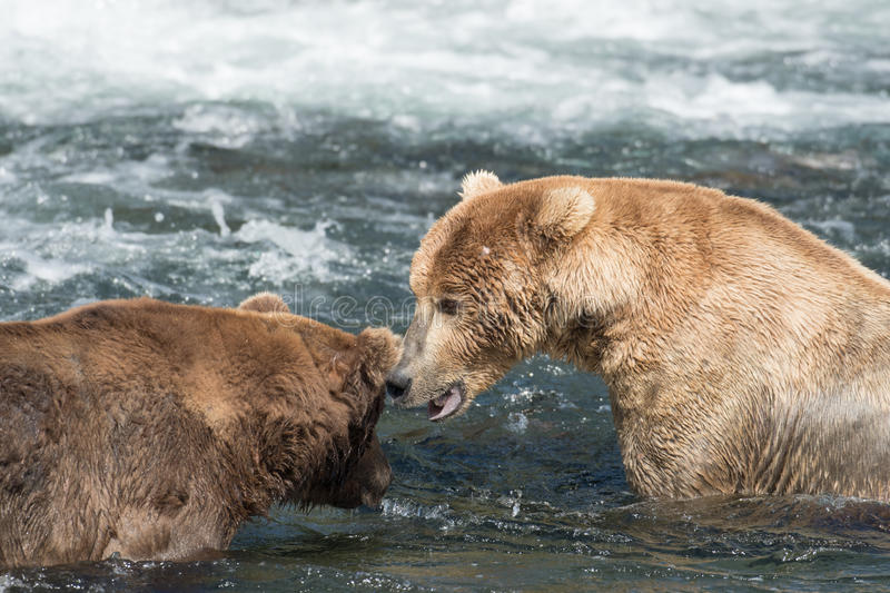 Two Alaskan brown bears square off stock photo