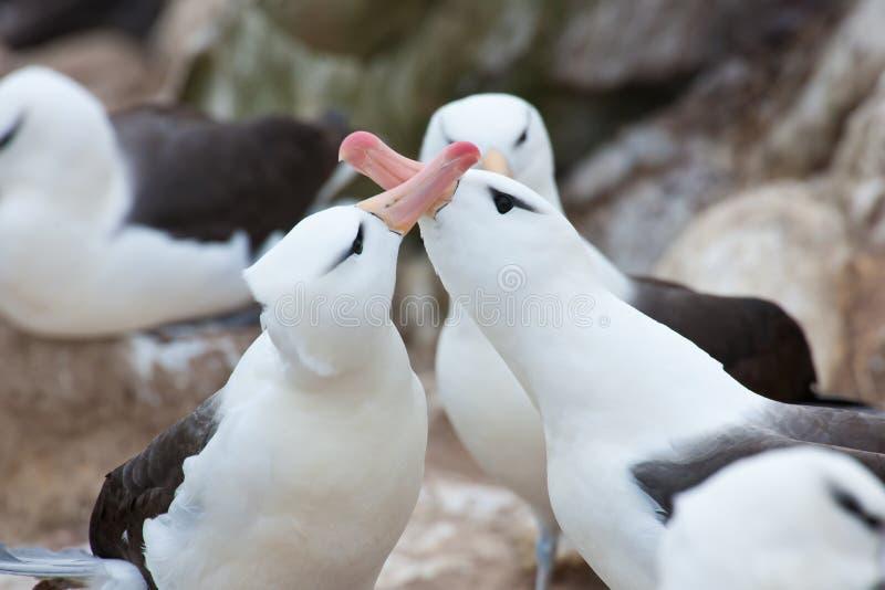 Albatross couple - family  Diomedeidae - courtship behavior on New Island, Falkland Islands. Albatross birds performing the courtship Display on 'Falkland stock photo