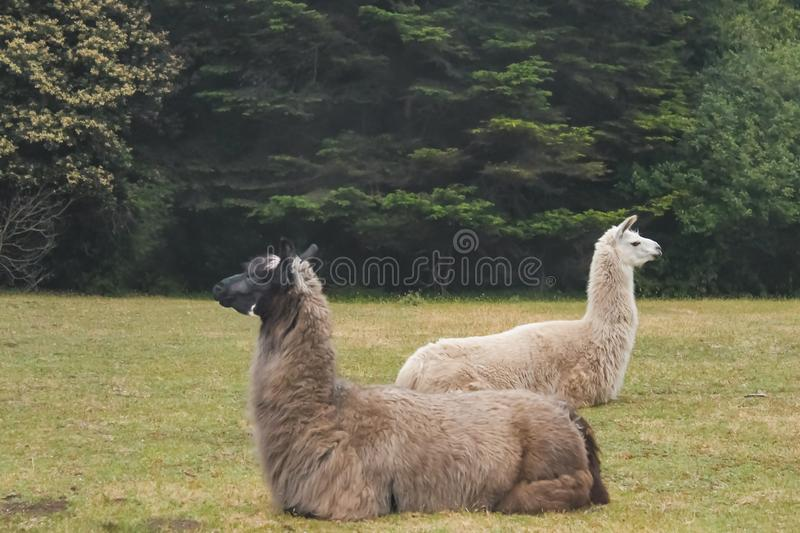 Two alert llamas lying in a field in opposite directions with forest behind them - selective focus stock images