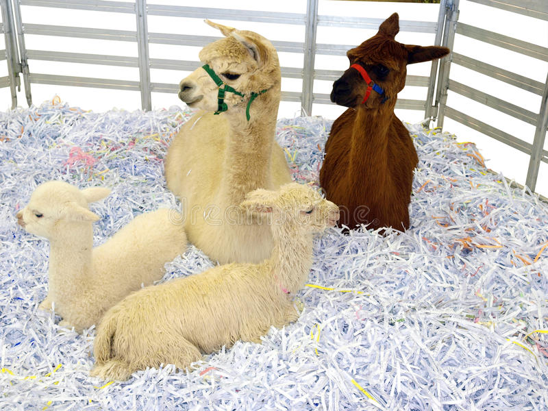 Two Alpaca with Cria royalty free stock image