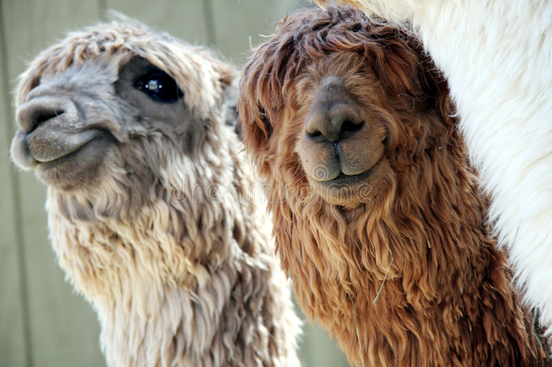 Two Alpacas. Two cute alpacas looking at the camera royalty free stock photos