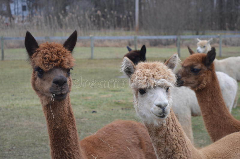 Two alpacas royalty free stock images