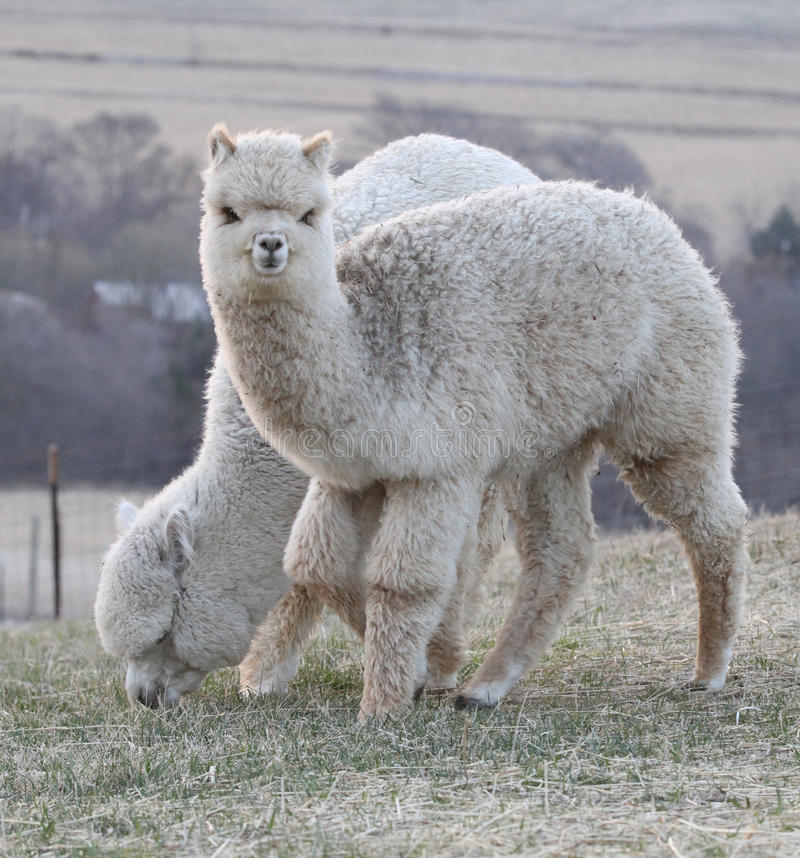 Two alpacas in a pasture royalty free stock image