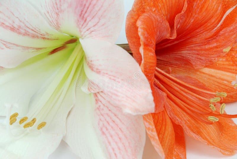 Two amaryllis stock images