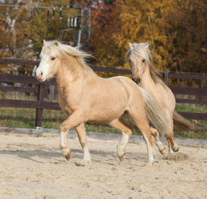 Two amazing welsh pony stallions playing together. Two amazing palomino stallions playing together in autumn, welsh mountain pony and welsh pony of cob type stock image