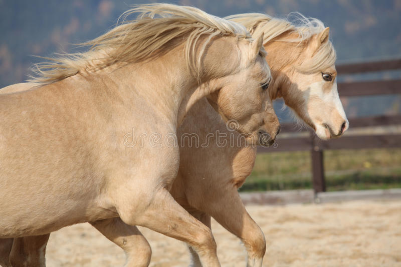 Two amazing welsh pony stallions playing together. Two amazing palomino stallions playing together in autumn, welsh mountain pony and welsh pony of cob type stock photography