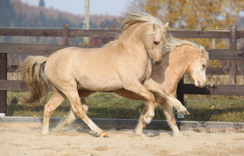 Two amazing welsh pony stallions playing together. Two amazing palomino stallions playing together in autumn, welsh mountain pony and welsh pony of cob type royalty free stock photos