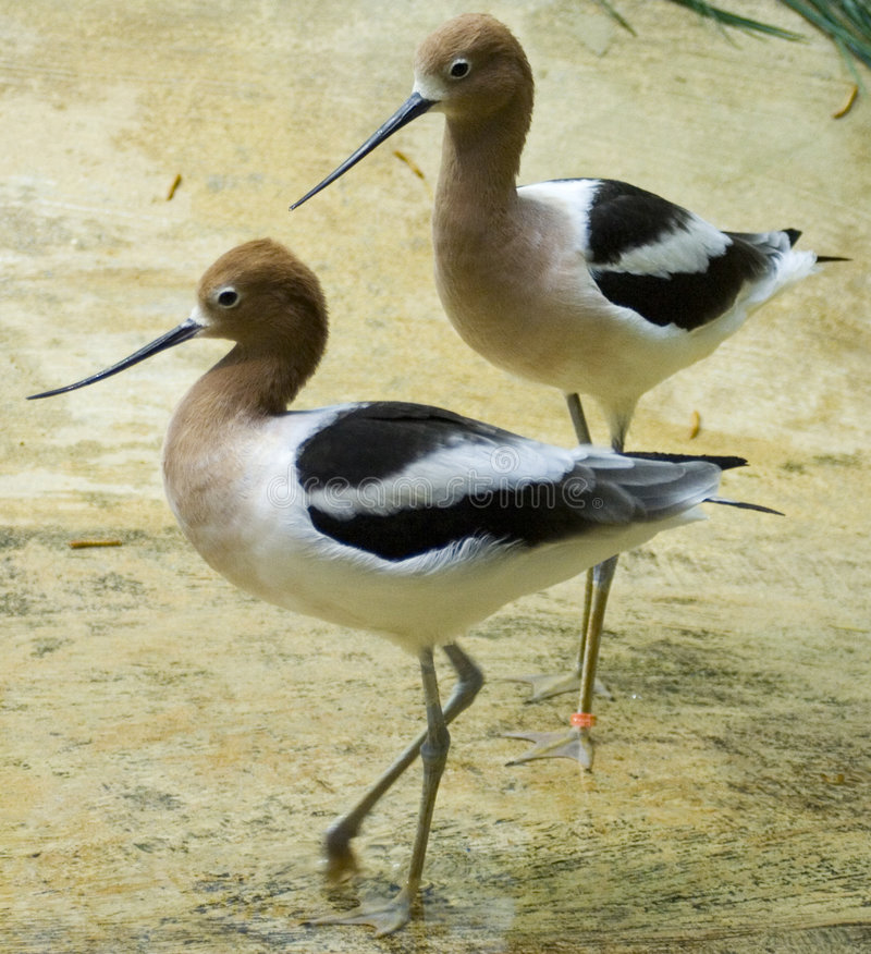 Two American Avocets royalty free stock photos