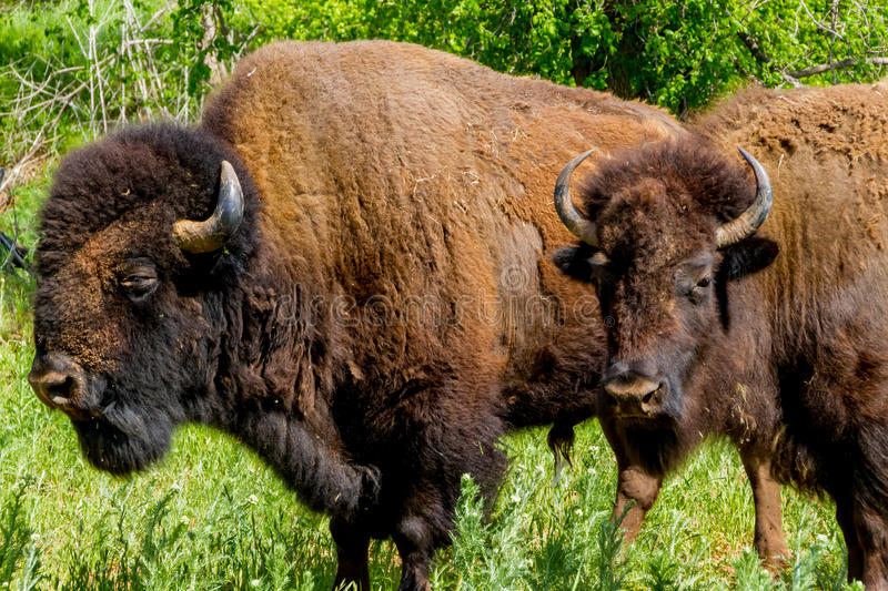 Two American Buffalo, Living on the Range in Oklahoma. An Iconic Wild Western Symbol - the American Bison (Bison bison), also Known as the American Buffalo stock photos
