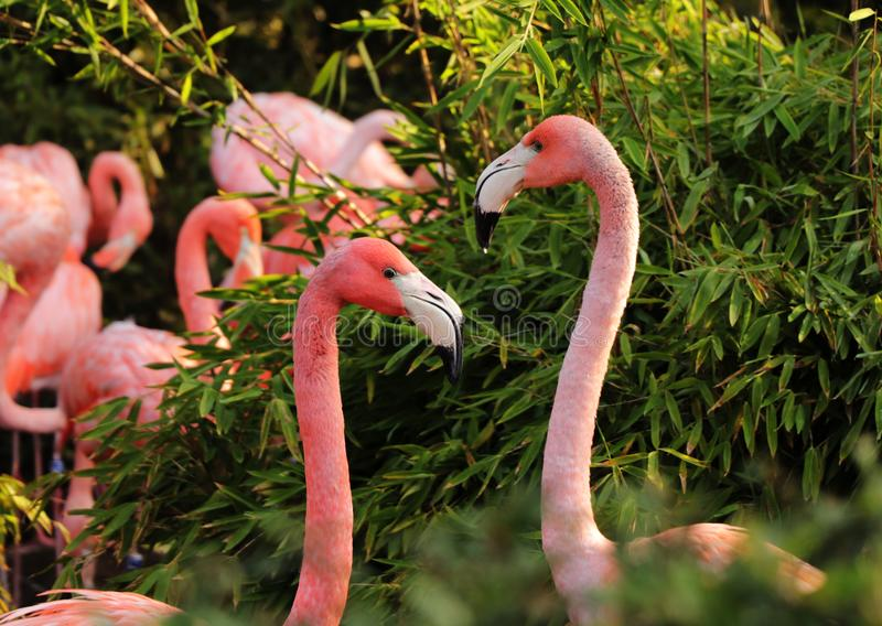 A two american flamingos, female and male showing each other their love in the middle of park. They are hidden before others stock photos