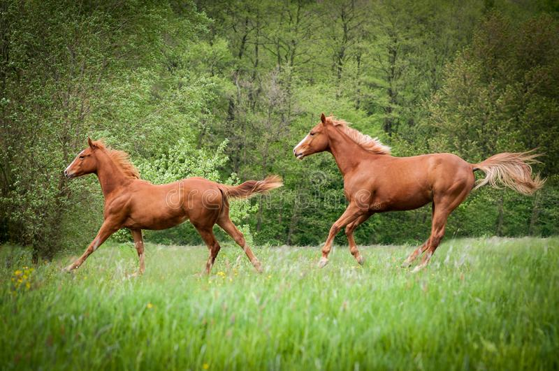 Two American Paint Horses running on the meadow. Two American Paint Horses running on the green meadow in spring royalty free stock image