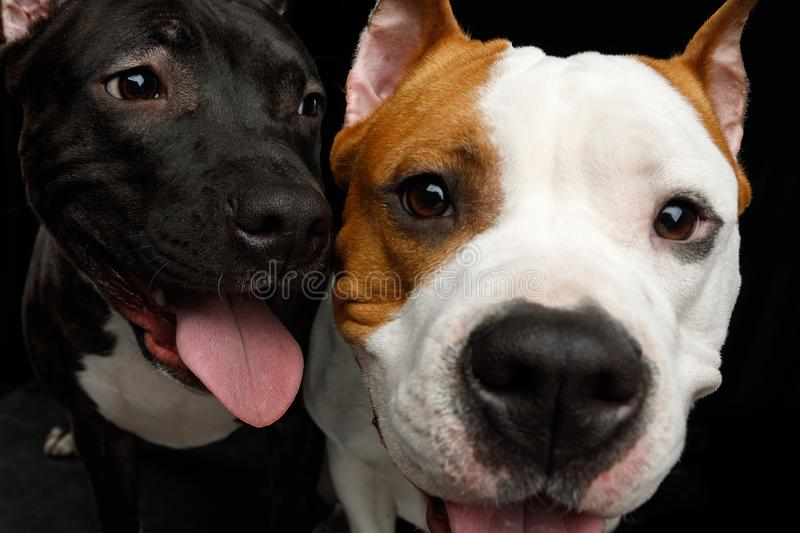Two American Staffordshire Terrier Dogs Isolated on Black Background royalty free stock images