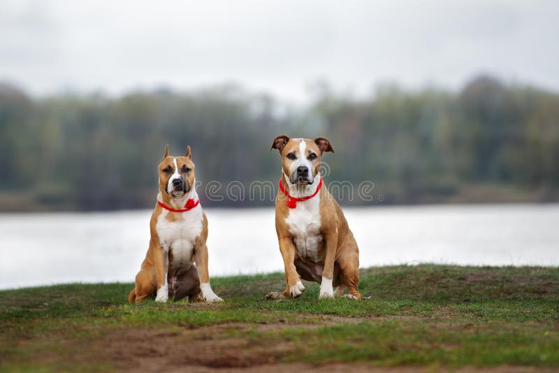 Two american staffordshire terrier dogs posing outdoors. Red american staffordshire terrier dogsy outdoors royalty free stock images